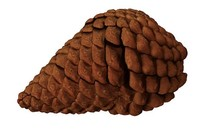 realistic pinecone cone 3d model