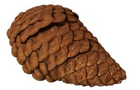 3d fir cone pinecone model