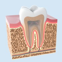 tooth anathomy obj