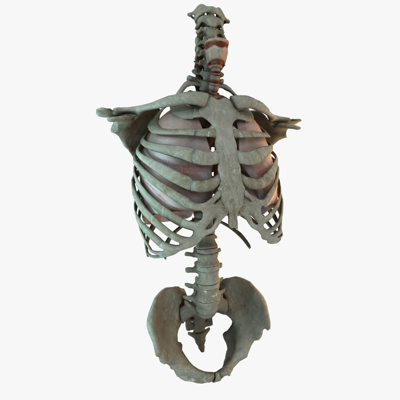 human_lung_torso_skeleton_render_01.jpg