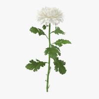 white chrysanthemum standing - max