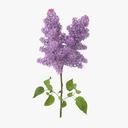 lilac 3D models