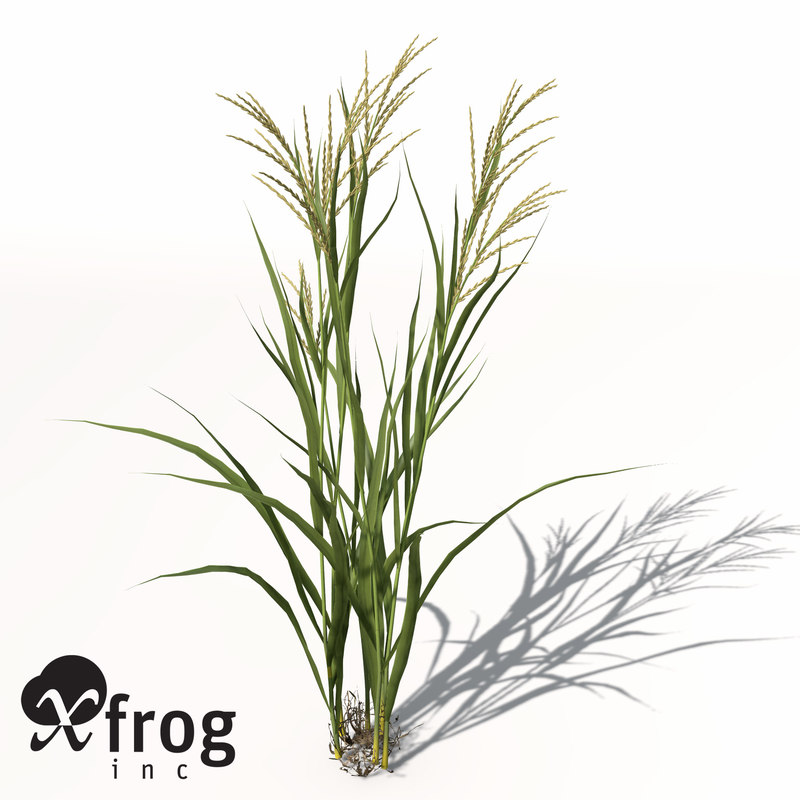 AG14-rice-7.jpg
