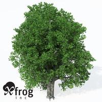 XfrogPlants Cappadocian Maple
