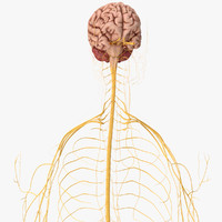 3d nervous central nerves model