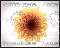 Herb Chrysanthemum