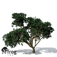 rubber fig tree plant 3d max