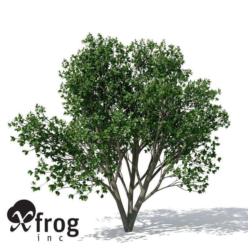 AS14-persian-ironwood-7.jpg