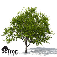 XfrogPlants Indian Sandalwood