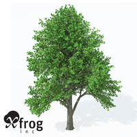XfrogPlants European White Elm