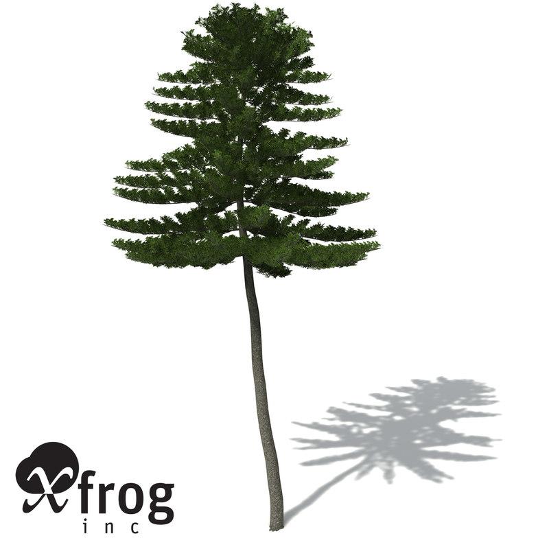 OC04-norfolk-island-pine-7.jpg