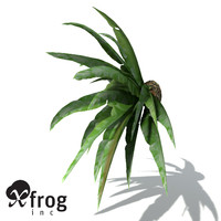 XfrogPlants Bird's Nest Fern