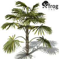 XfrogPlants Australian Cabbage Palm