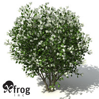 XfrogPlants Orange Jasmine