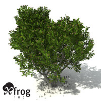 XfrogPlants Grey Mangrove