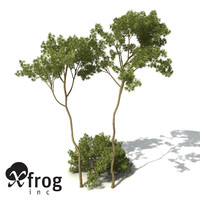 3d xfrogplants white mallee tree shrub model