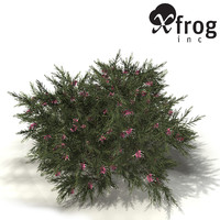 3d xfrogplants rosemary grevillea plant model