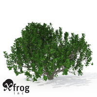 3d model xfrogplants fig tree