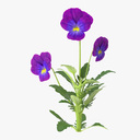 pansies 3D models