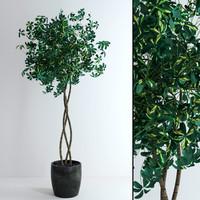 realistic schefflera plant tree max