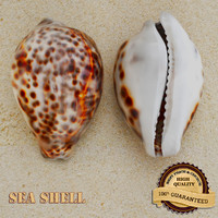 sea shell seashell max