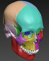 scan skull anatomy 3d max