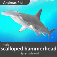 realistic scalloped hammerhead shark c4d