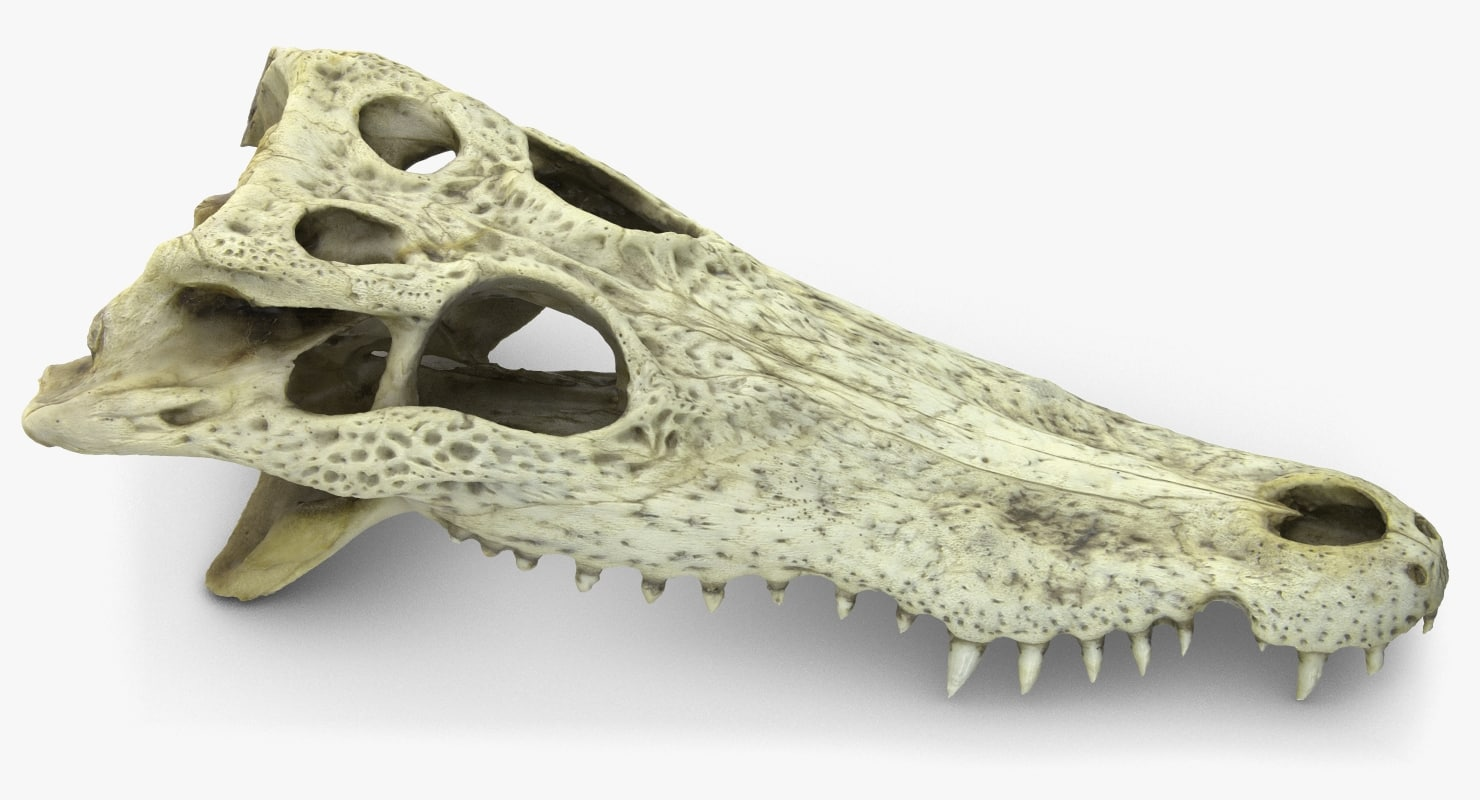 CrocodileSkull3DScan_Camera001_Beauty-001.jpg