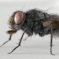 housefly fly 3d c4d