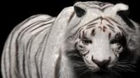 White Tiger Fur Rigged