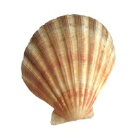 3d sea shell scallop