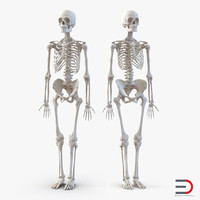 3d human male female skeletons model