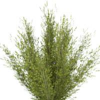 shrub birch tree 3d model