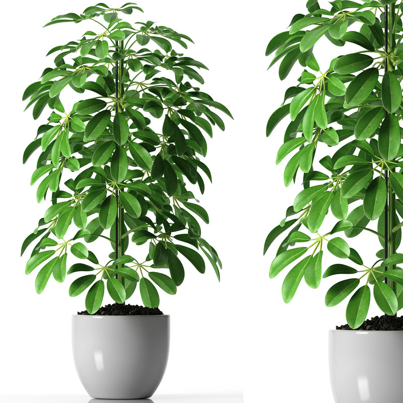 Umbrella Plant Toxic: 3d Schefflera Plant Pot Model