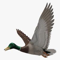 "Anas Platyrhynchos ""Mallard Duck"