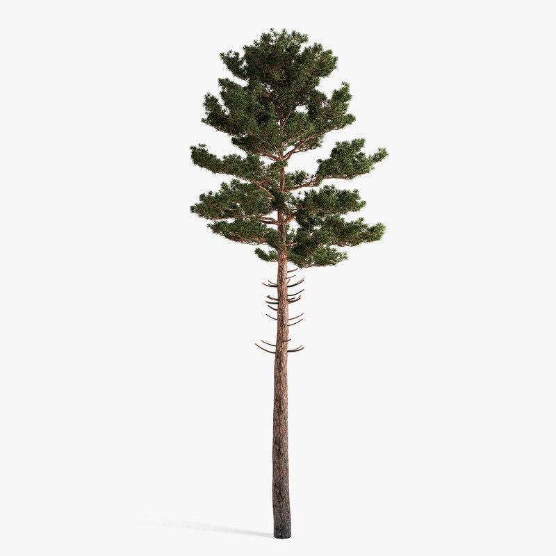 scots_pine02_01.jpg