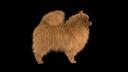 Pomeranian 3D models