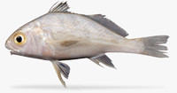 3d model longfin croaker
