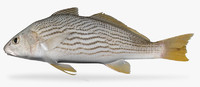 3d yellowfin croaker model