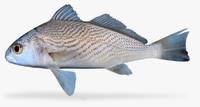 longfin croaker x