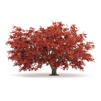 3d red japanese maple acer