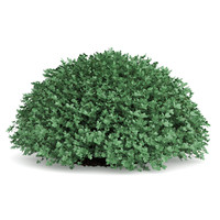 3d model boxwood buxus sempervirens