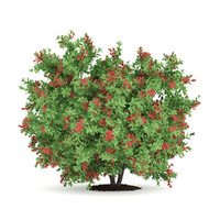 pidgeon berry shrub rivina 3d max