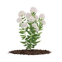 flowering sedum plant 3d model