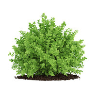 small boxwood plant buxus 3d max