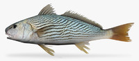 surf croaker 3d model