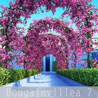 Bougainvillea 7