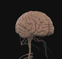 3d brain nervous