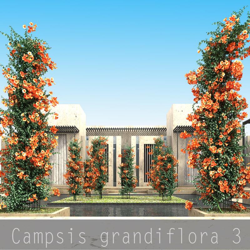 Campsis grandiflora final_00.jpg