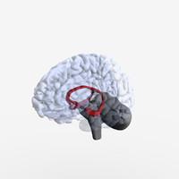 3d model structures brain